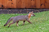 Grey fox walking up yard