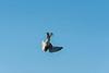 American Kestrel flying