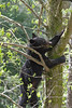 Black bear eating in leave in a tree