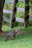 Grey fox by fence mouth open