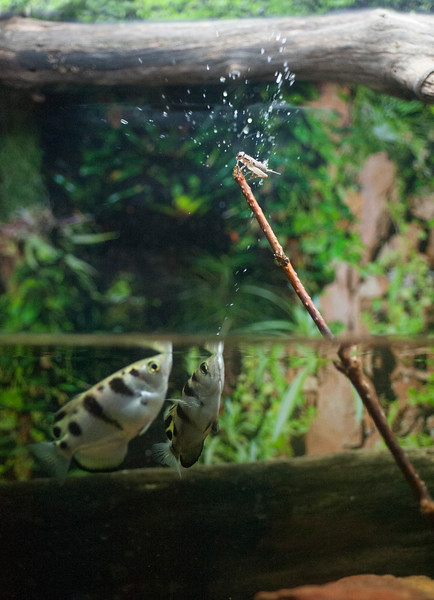 Two Archer fish shooting down an insect