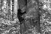Black bear cub hanging onto trunk of a tree   BW