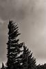 Wind blown pine tree in the sky