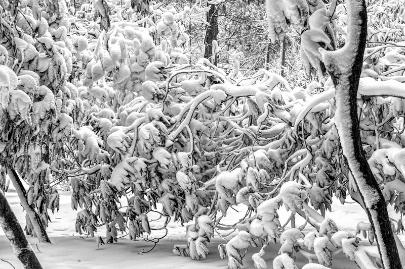 Snow laying heavy on the twisted branches
