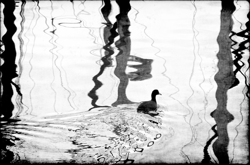 silhouette duck in water witrh reflections ..................................................................Prints or digital files can be purchased by e mailing DFriend150@gmail.com