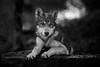 Wolf portrait   BW