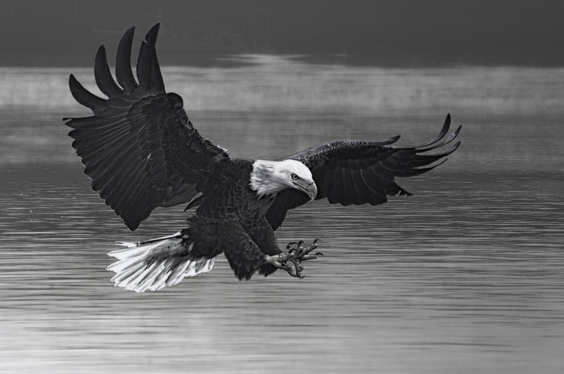 Everglade eagle coming in for fish ..................................................................Prints or digital files can be purchased by e mailing DFriend150@gmail.com