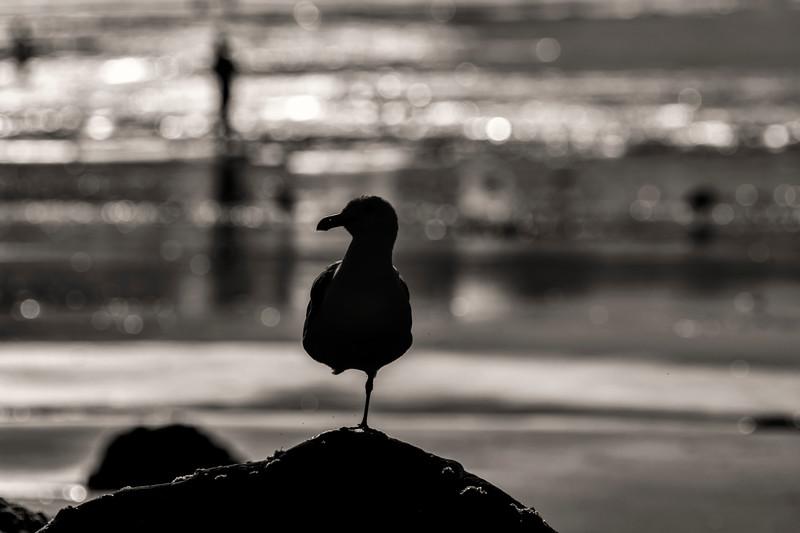 Gull on one leg