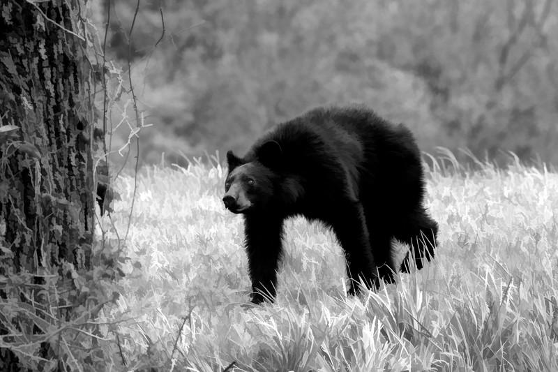 Black bear alert to danger   paintography