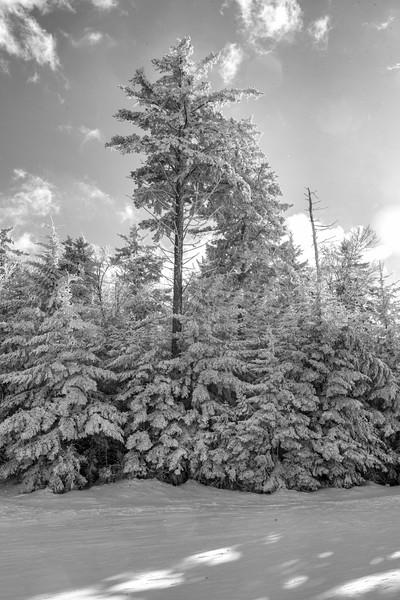 Frozen tree in the snow