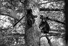 Two black bear cubs up a tree playing    BW