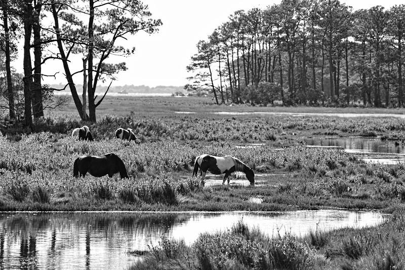 "Wild horses of Assateague feeding ........to purchase - <a href=""http://dan-friend.artistwebsites.com/featured/wild-horses-of-assateague-feeding-dan-friend.html?newartwork=true"">http://dan-friend.artistwebsites.com/featured/wild-horses-of-assateague-feeding-dan-friend.html?newartwork=true</a>"