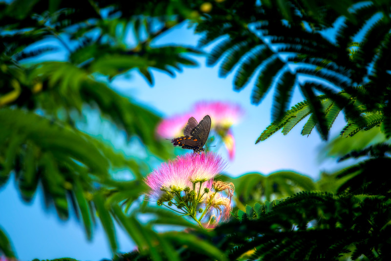 Spicebush Swallowtail feeding high in a Mimosa tree flower