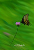 """Butterfly on wild flower<br /> <br /> to purchase - <a href=""""http://dan-friend.artistwebsites.com/featured/butterfly-flying-over-flower-dan-friend.html"""">http://dan-friend.artistwebsites.com/featured/butterfly-flying-over-flower-dan-friend.html</a>           .................................................................pixel paintography"""