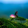 Spicebush Swallowtail feeding in open on a Mimosa tree flower