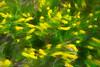 Yellow wild flowers in motion on prairie of South Dakota