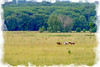 Cattle round up and drive in West Virginia