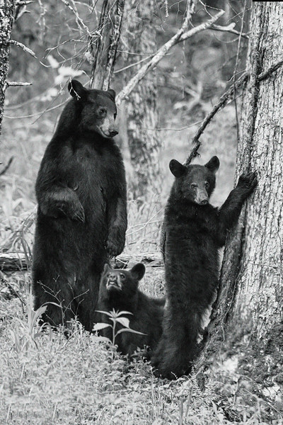 Paintography - bears in the woods