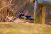 Wood duck on land   paintography