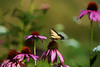 Purple Coneflower with Eastern Tiger Swallowtail feeding on it
