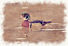 Male wood duck      paintography