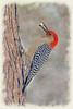 Red-bellied Woodpecker on tree with kernal of corn