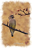 """one Cedar Waxwing eating in tree to purchase -  <a href=""""http://dan-friend.artistwebsites.com/featured/one-cedar-waxwing-eating-in-tree-dan-friend.html"""">http://dan-friend.artistwebsites.com/featured/one-cedar-waxwing-eating-in-tree-dan-friend.html</a>           .................................................................pixel paintography"""