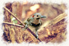 """Northern Flickers are large, brown woodpeckers..........................to purchase - <a href=""""http://dan-friend.artistwebsites.com/featured/northern-flickers-looking-at-you-dan-friend.html?newartwork=true"""">http://dan-friend.artistwebsites.com/featured/northern-flickers-looking-at-you-dan-friend.html?newartwork=true</a>           .................................................................pixel paintography"""