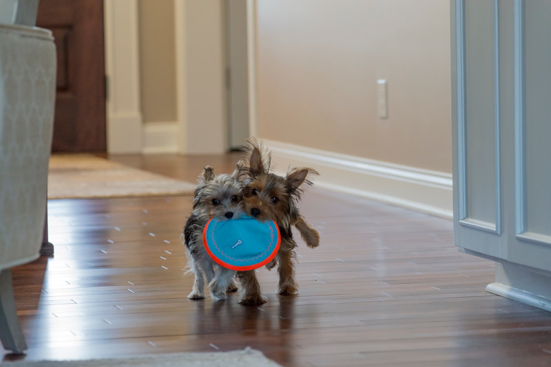 Two Yorkies with one toy