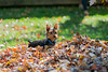 Yorkie in a pile of leaves