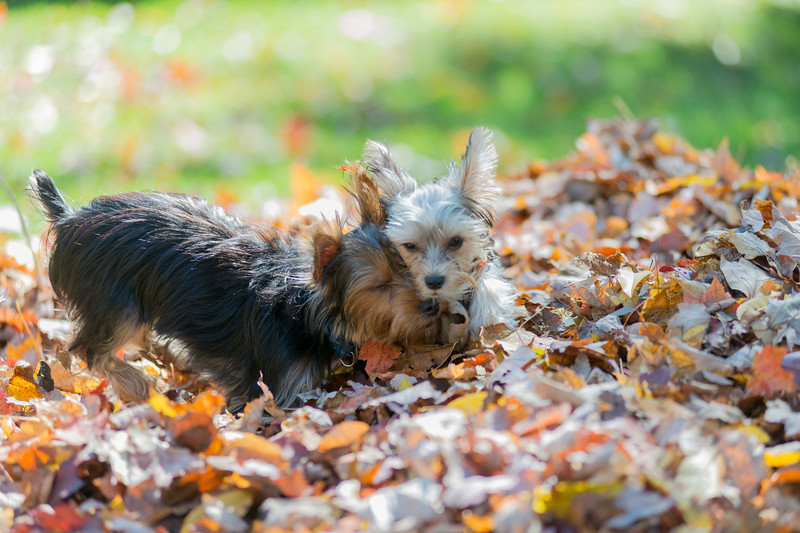 Yorkie puppies playing in the leaves