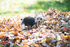 Puppy in a pile of leaves
