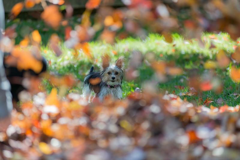 Yorkie looking at blowing leaves