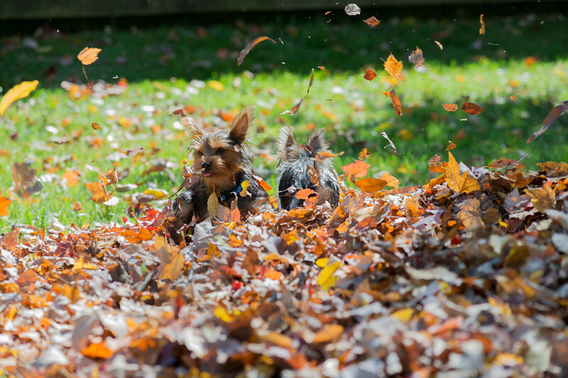 Two yoirkies jumping into pile of leaves