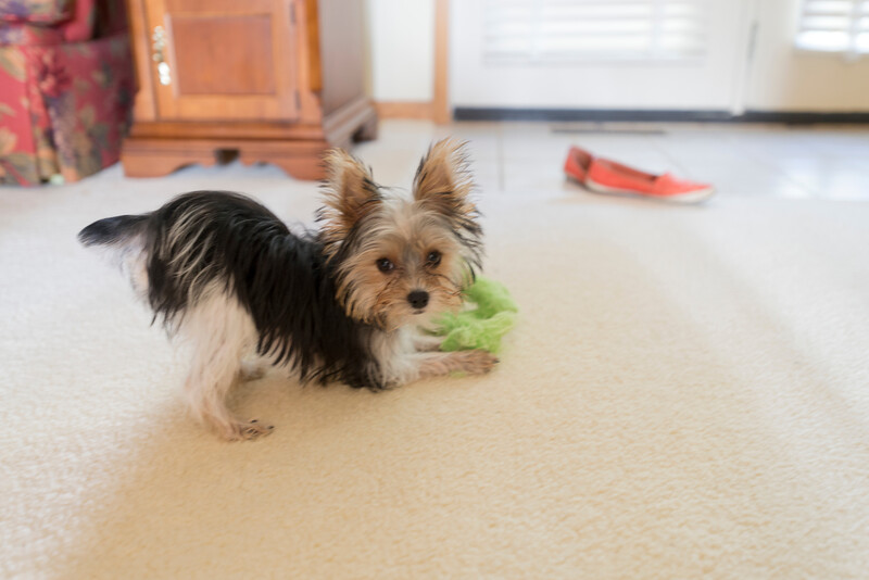 Yorkie playing with toy