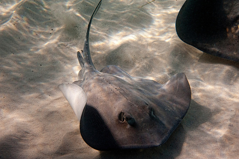 Stingray swimming ................................................To purchase digital file or purchase print e mail - DFriend150@gmail.com