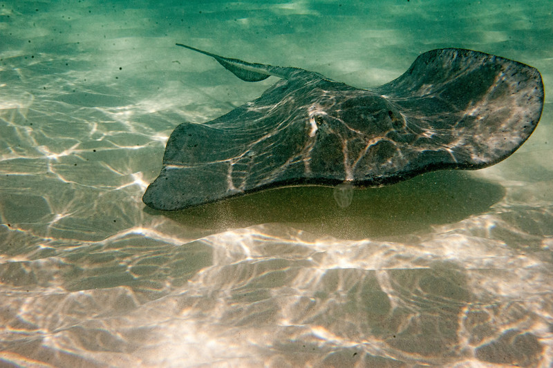 Stingray swimming over sand................................................To purchase digital file or purchase print e mail - DFriend150@gmail.com