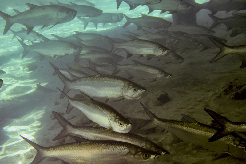 School tarpon under the dock................................................To purchase digital file or purchase print e mail - DFriend150@gmail.com