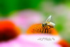 "Honey bee probing for food<br /> <br /> to purchase - <a href=""http://dan-friend.artistwebsites.com/featured/honey-bee-probing-for-food-dan-friend.html"">http://dan-friend.artistwebsites.com/featured/honey-bee-probing-for-food-dan-friend.html</a>           .................................................................pixel paintography"
