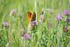 orange butterfly feeding on plant