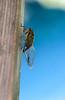 Cicada on post