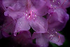 Rhododendron up close