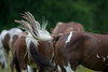Horse tail swishing
