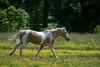 Palomino horse in field