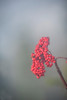 Berries in fog