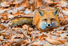 Red fox in the leaves