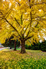 Ginkgo tree full Fall color...........to purchase print or digital file e mail DFriend150@gmail.com