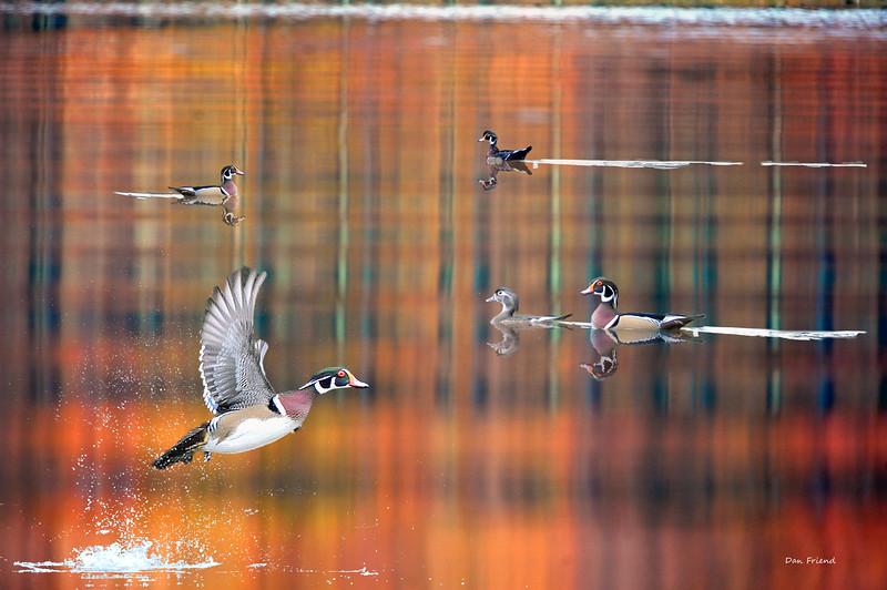 Wood ducks Cheat Lake in fall