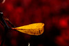 Yellow leaf in sea of red