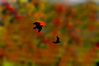 Silhouette Art crows flying